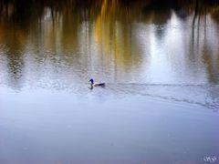 Ente schwimmt auf dem Cappenberger See