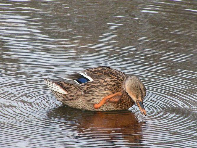 Ente, sich am Ohr(?) kratzend