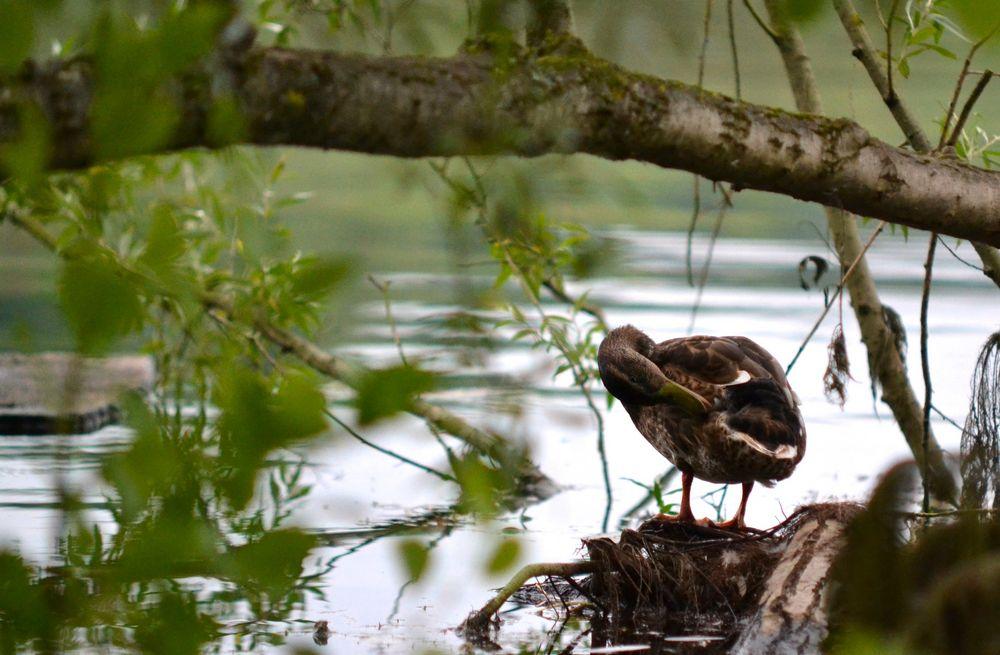 Ente süß sauber