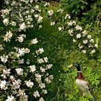 Ente und Pfeifenstrauch in Nachbars Garten