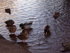 Enten am Teich kurz vor Sonnenuntergang