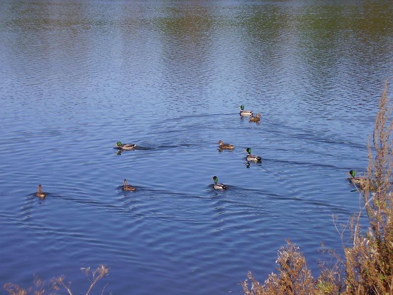 Enten auf dem Schiedersee