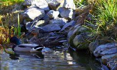 Enten auf dem Teich