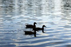 Enten auf dem vom Sonnenlicht schillernden Bruchsee