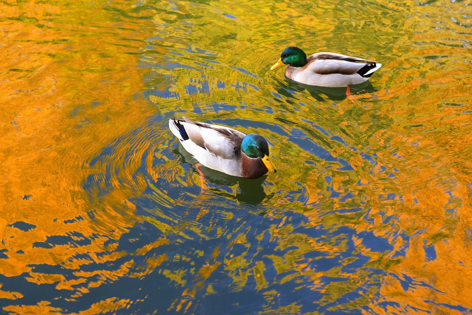 Enten baden in Herbstfarben