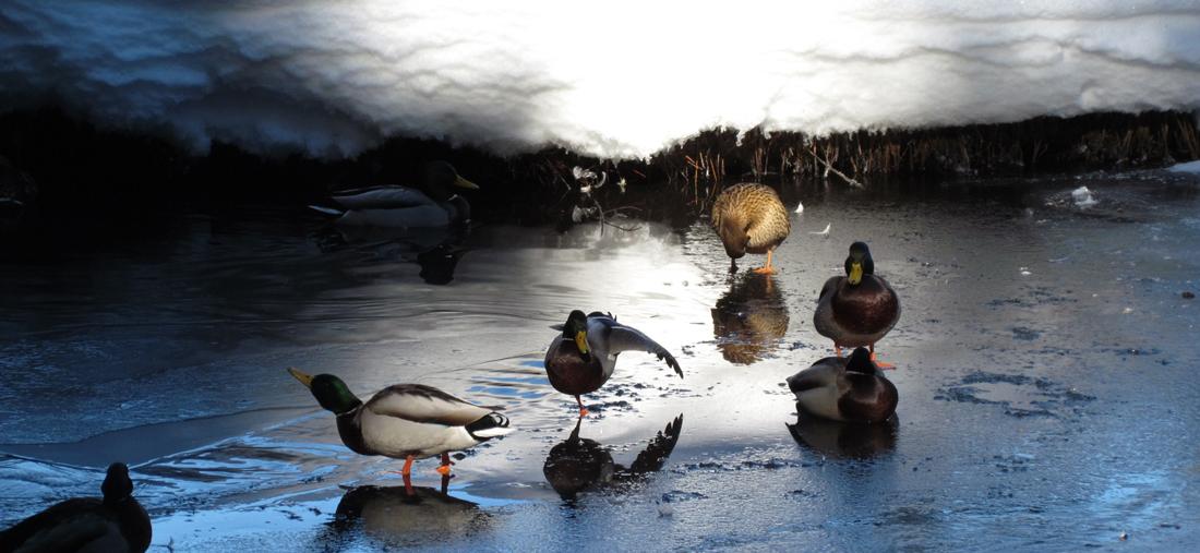 Enten beim Baden
