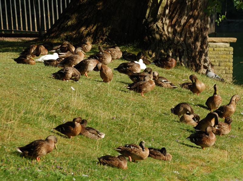 Enten beim Morgenputz
