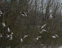Enten beim Start