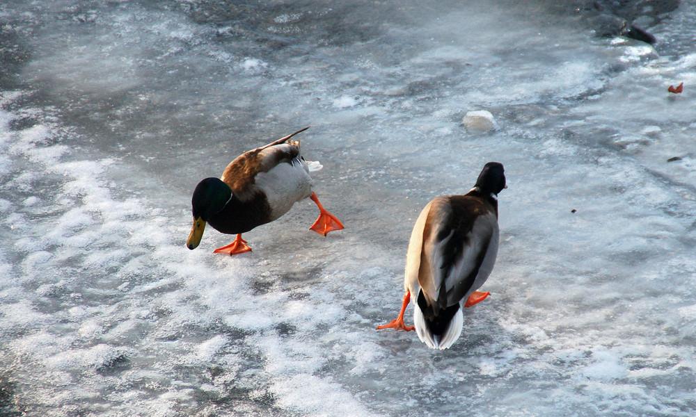 Enten-Eislaufen