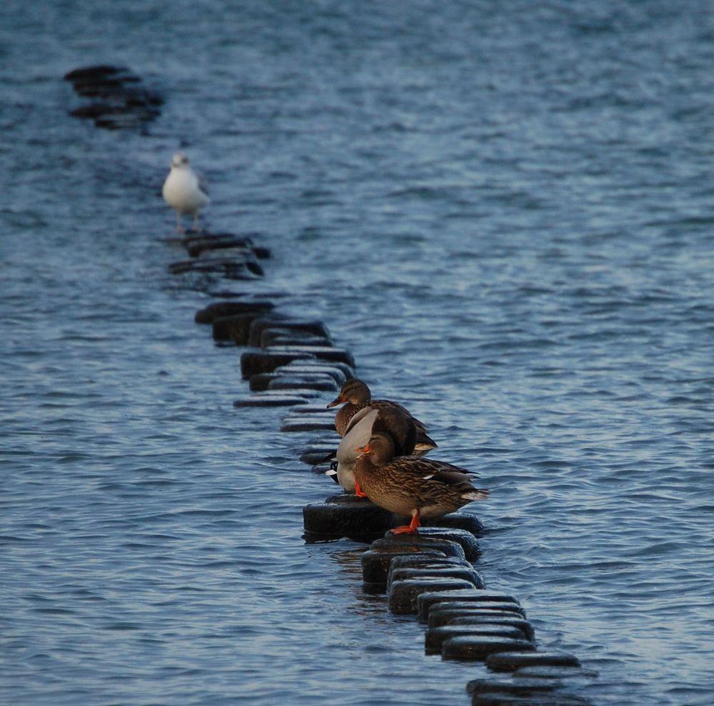 Enten warten auf andere Zeiten