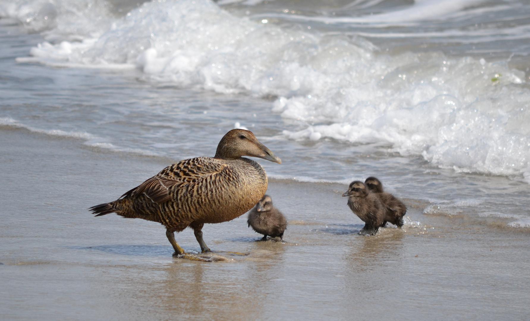 Entenfamilie an der Nordsee
