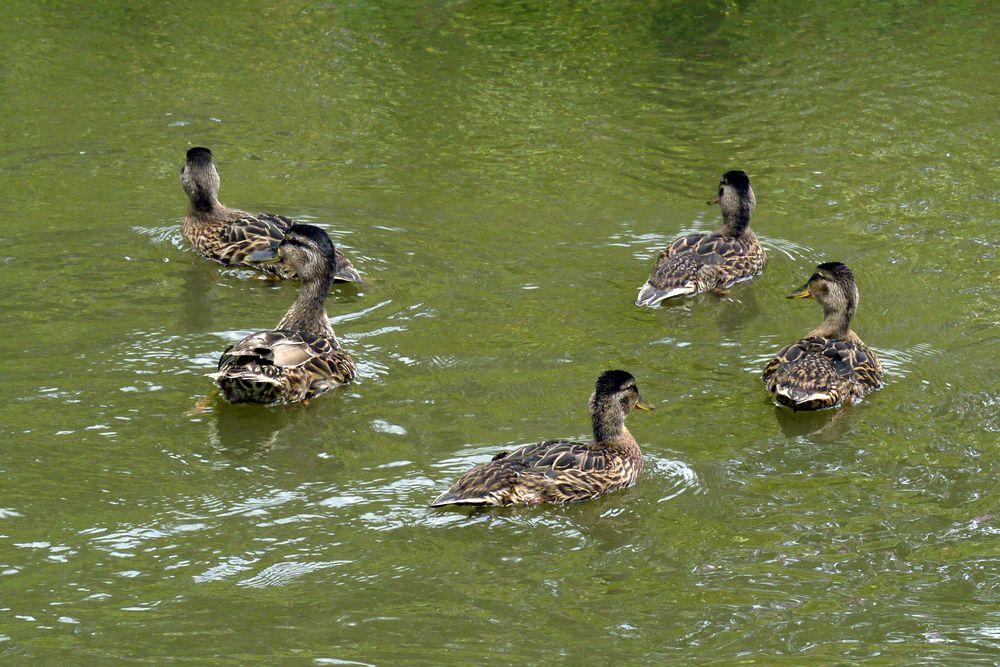 Entenfamilie auf der Weschnitz in Einhausen (I)