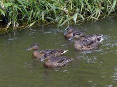 Entenfamilie auf der Weschnitz in Einhausen (II)