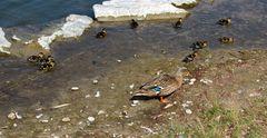 Entenfamilie auf Entdeckungstour