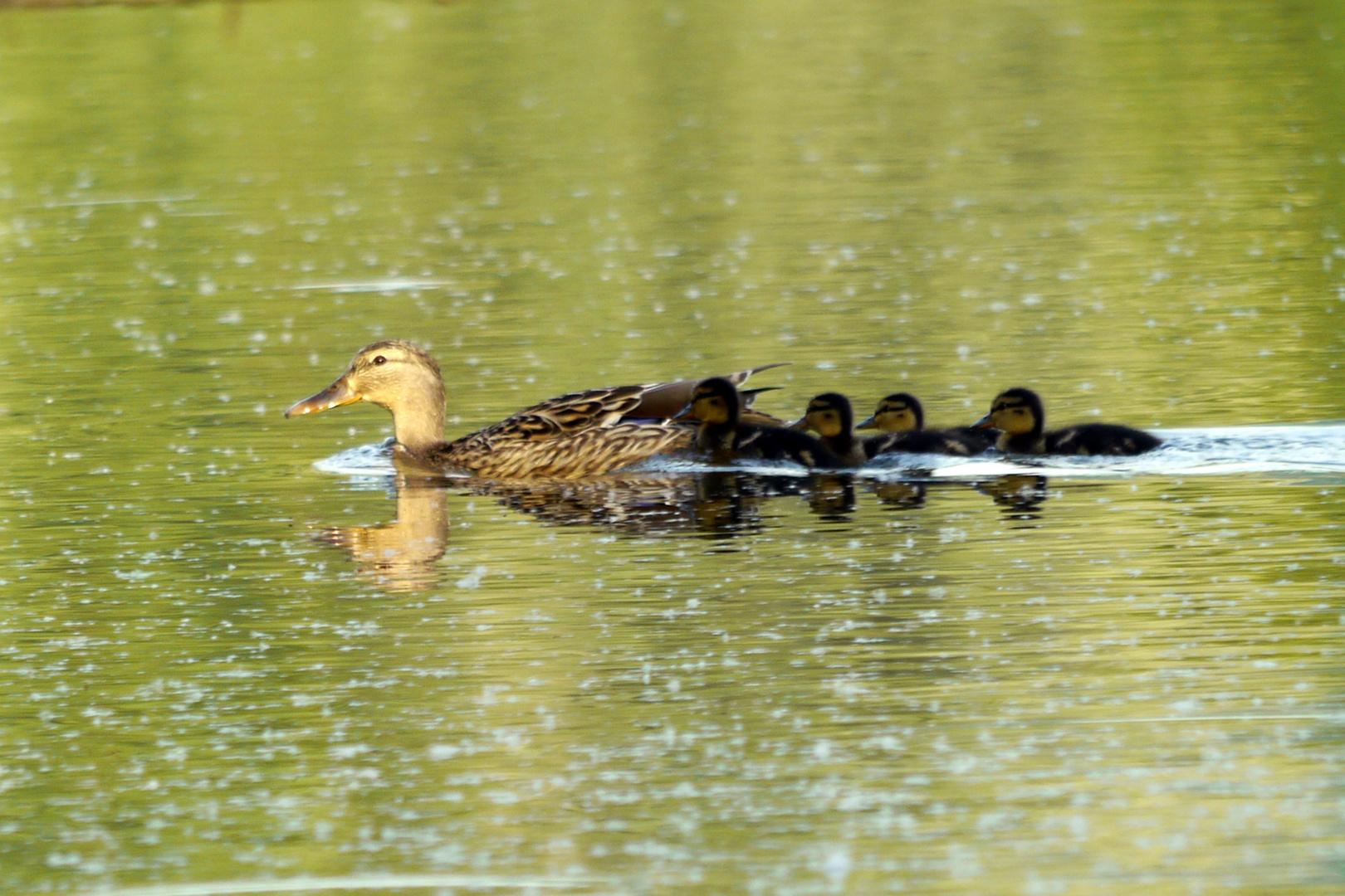 Entenfamilie I
