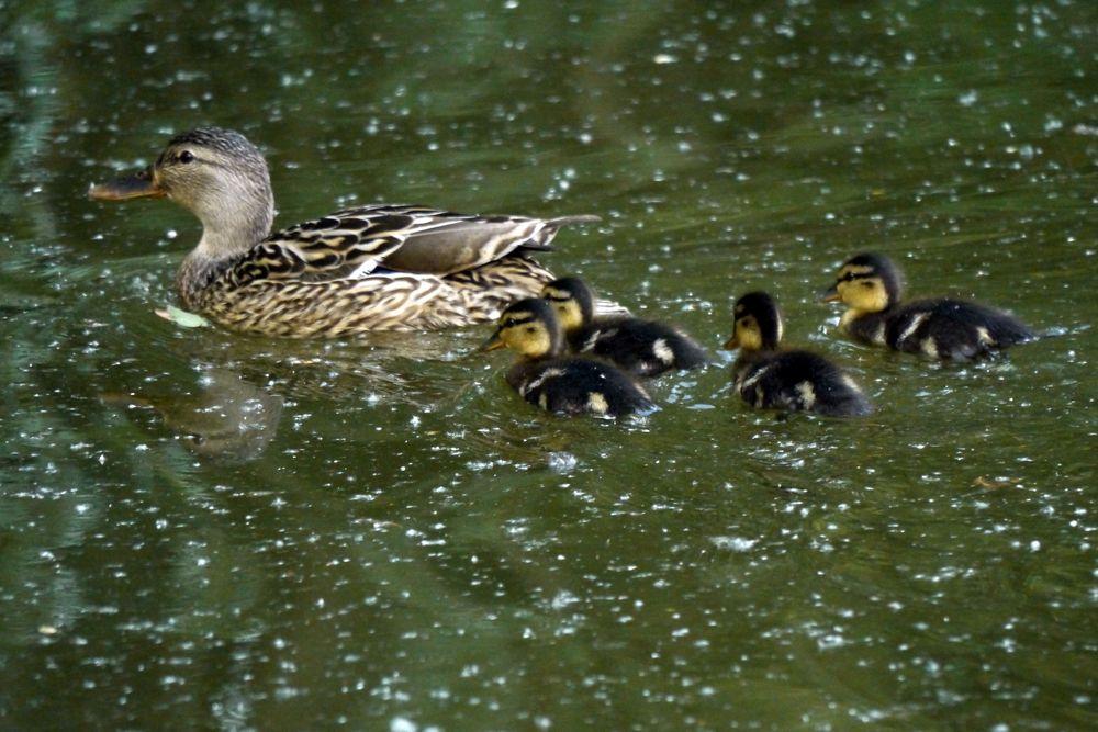 Entenfamilie II