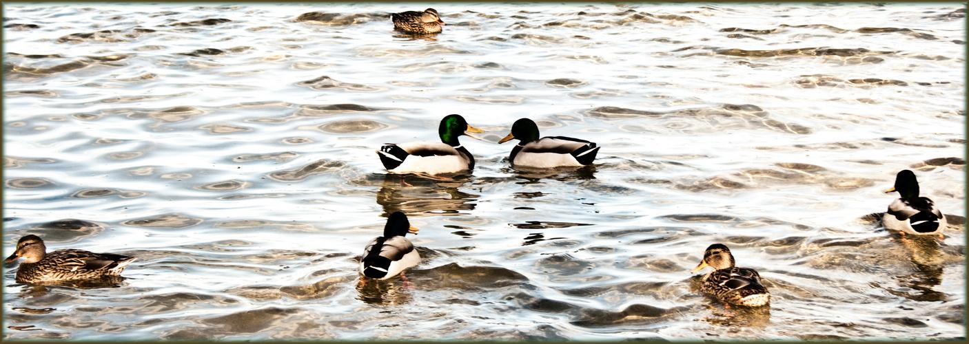 Entenliebe auf dem Bodensee