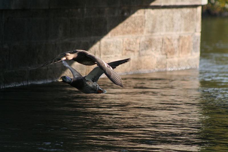 Entenpaar unter der Brücke