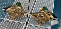 Entenpärchen auf einem Brückensteg!