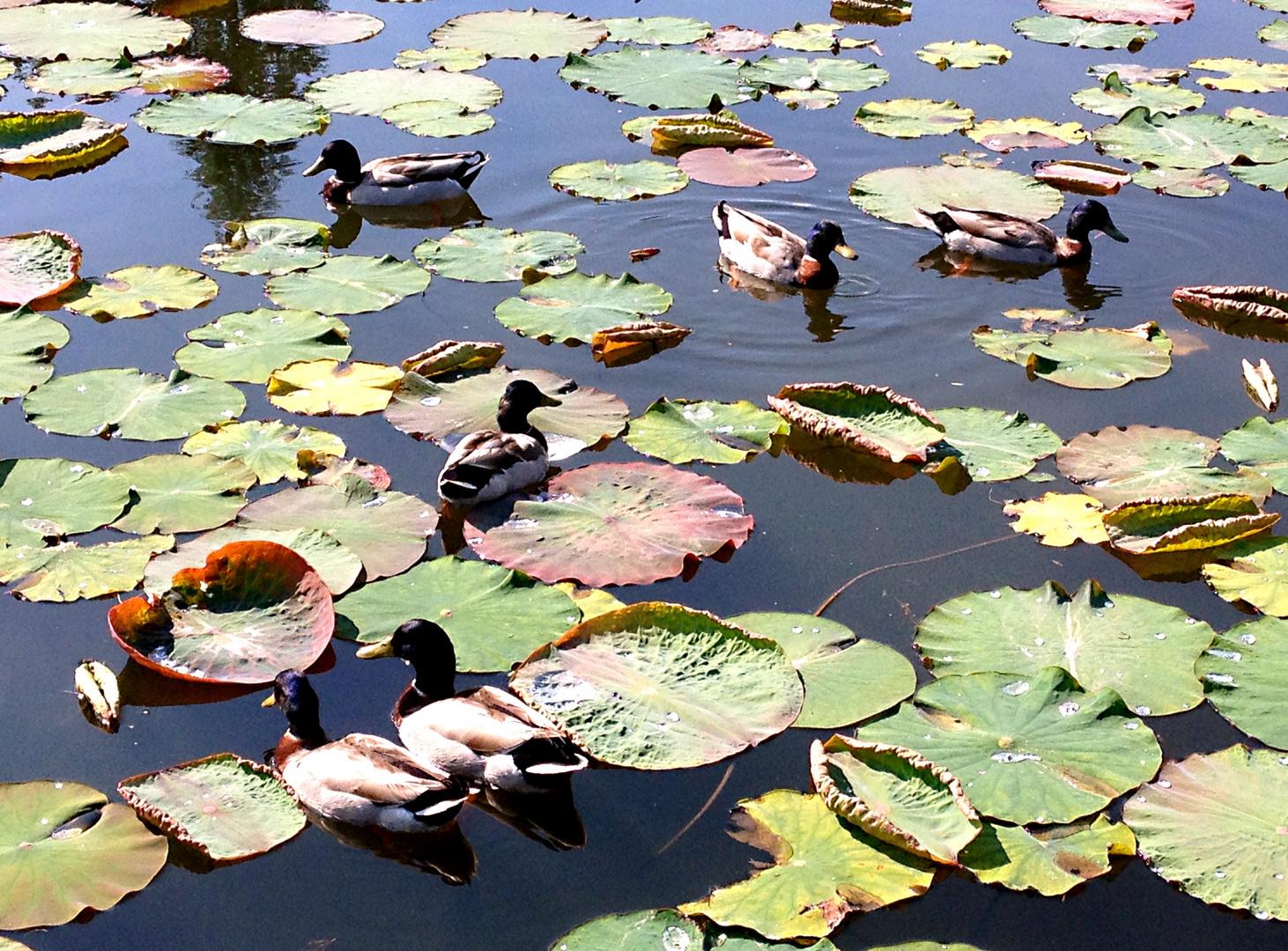 Enten....zwischen wachsenden Lotusblumen-Pflanzen