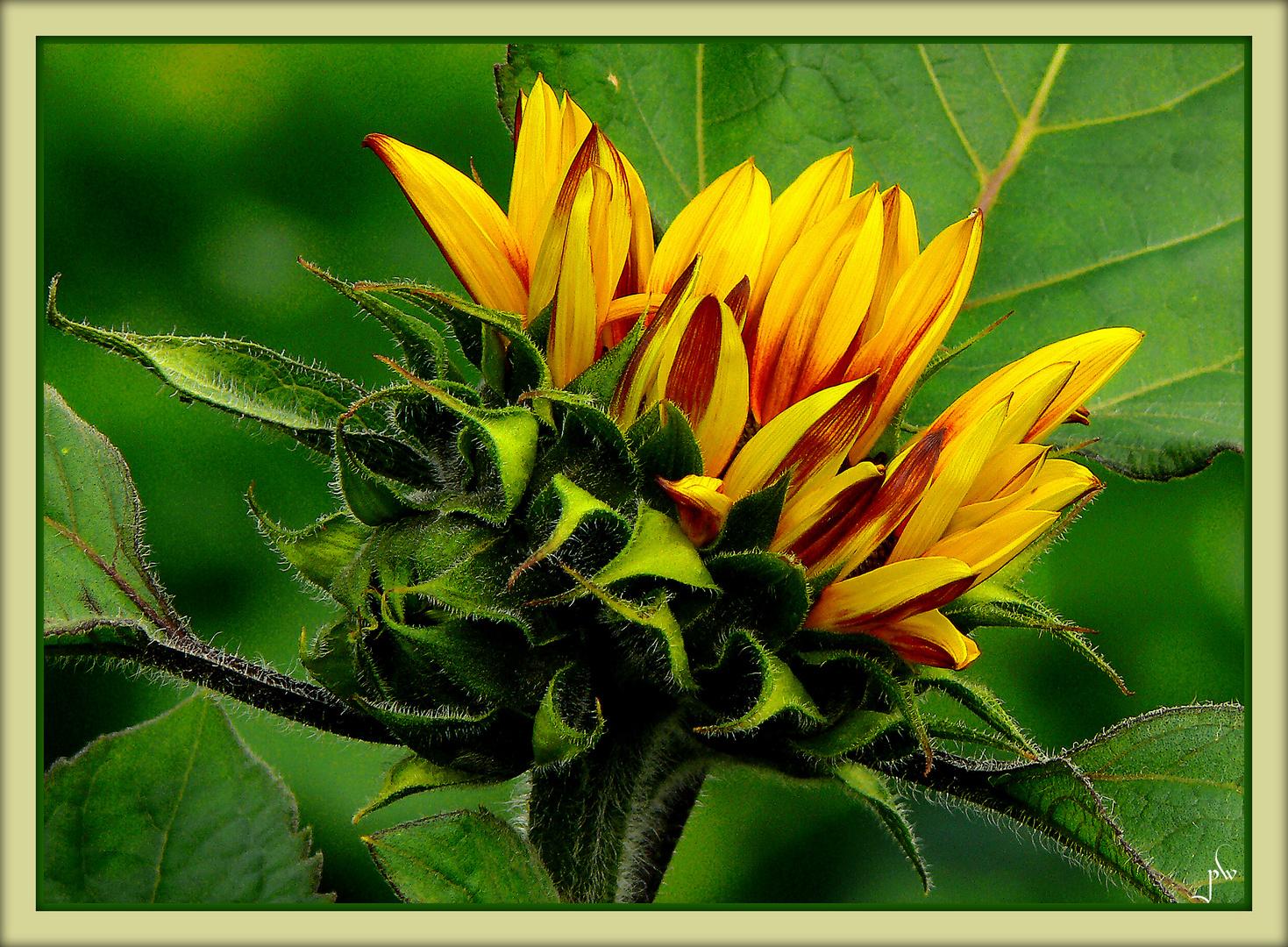 Entfaltung einer Sonnenblume