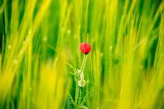 Entre el trigo