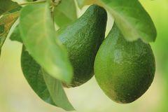 Entre follaje, frutos  servidos