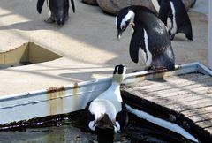 Entschuldigen Sie....ist das hier das subtropische Eider-Enten Treffen??