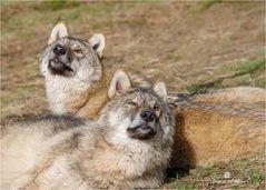 Entspanntes Wolfspaar