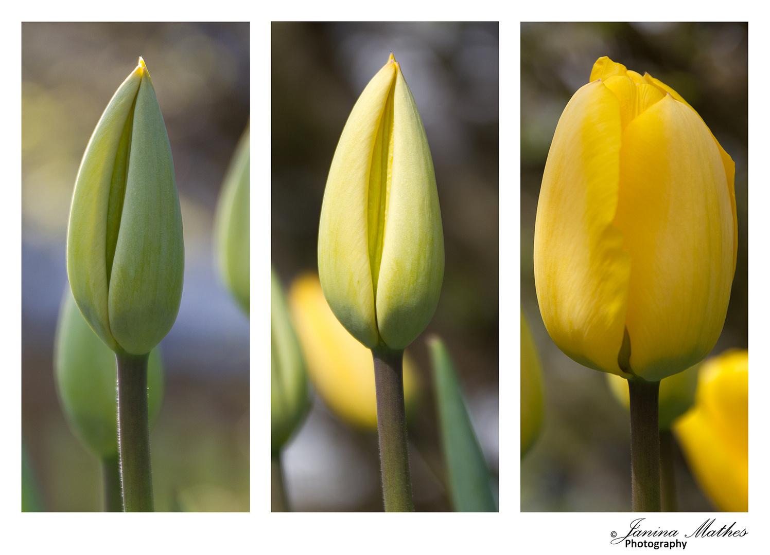 Entwicklung einer Tulpe