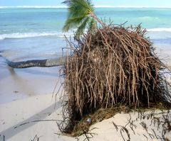 Entwurzelte Palmen