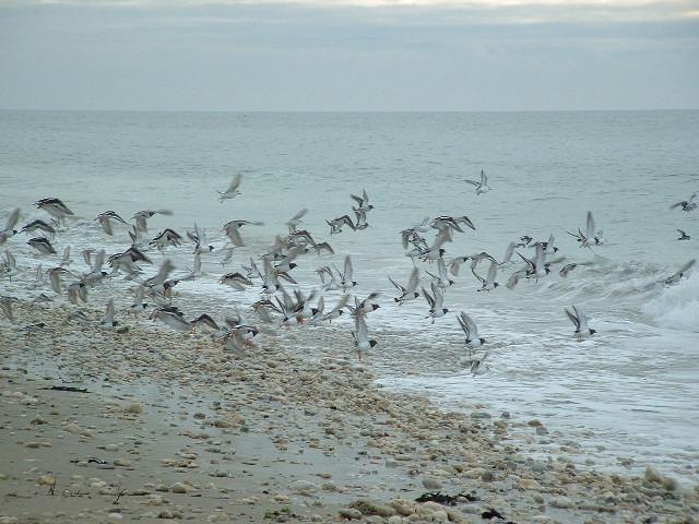 Envolée d'oiseaux (Ile de Ré)