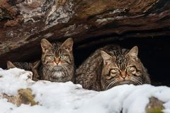 EOS spotting wildcat cave