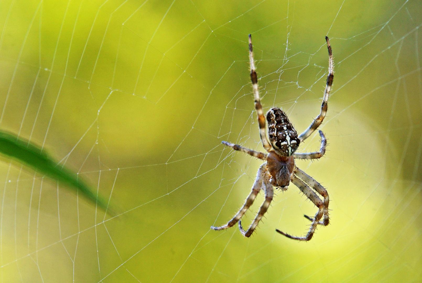Epeire (pour les arachnophobes !)