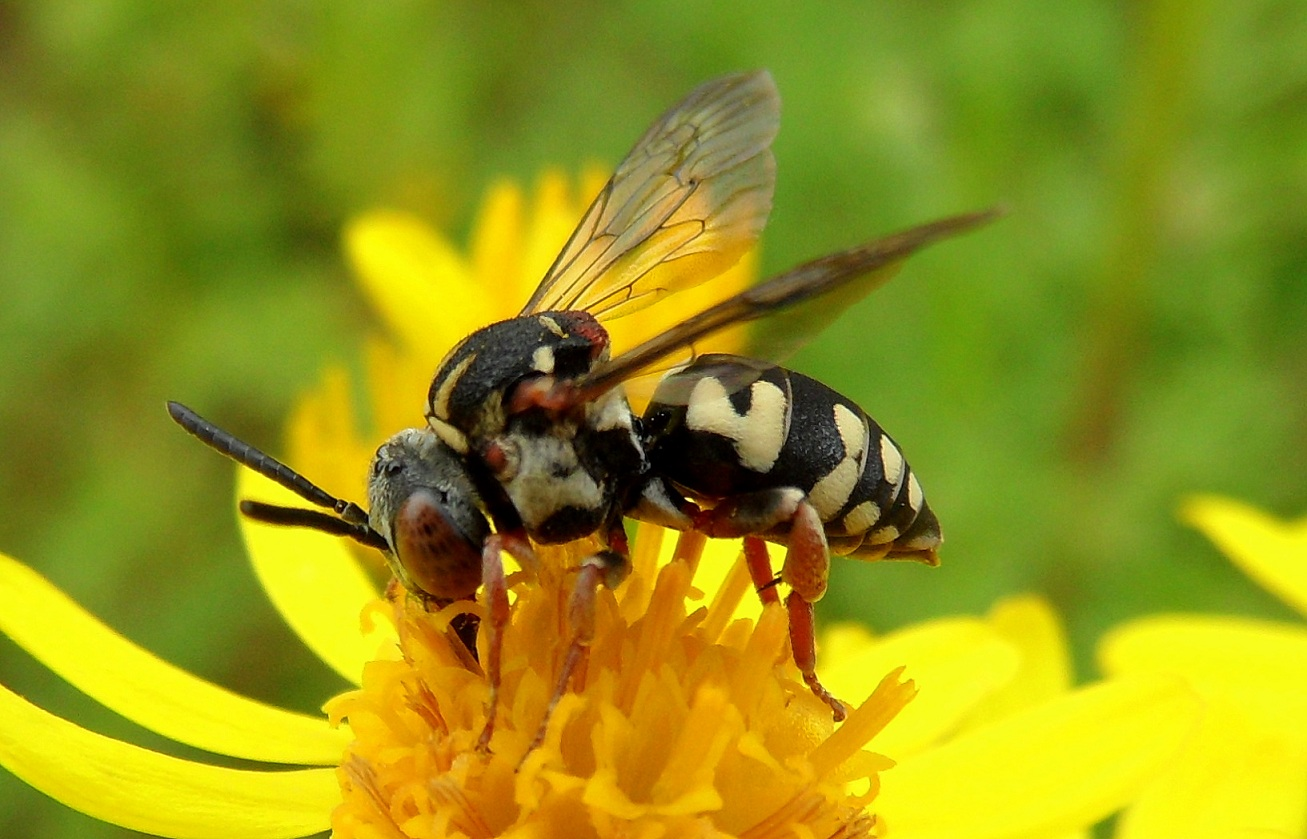 Epeolus variegatus, a cuckoo bee, female