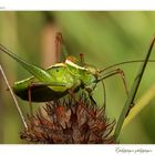 Ephippiger ephippiger - Tettigoniidae