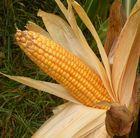 Epi de maïs.