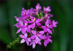 "Epidendrum ""Ballerina"""