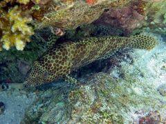 Epinephelus merra - Malediven