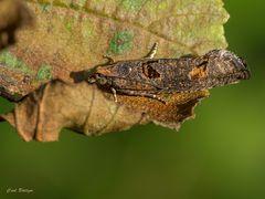 Epinotia maculana