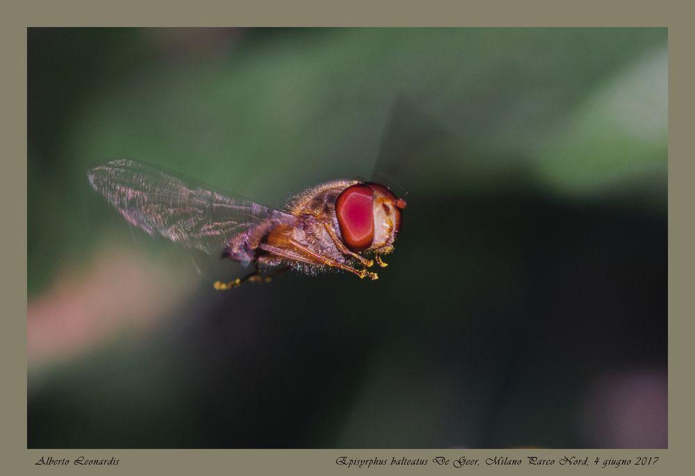 Episyrphus balteatus De Geer