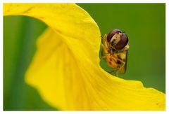 Episyrphus balteatus sur Iris des marais