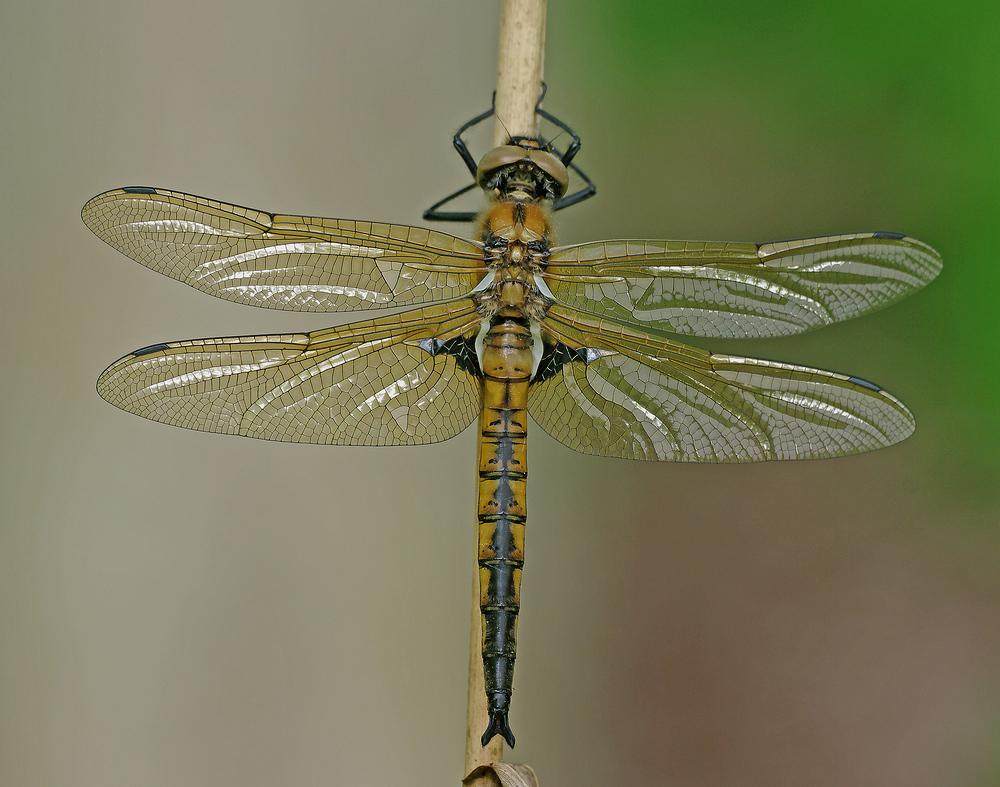 Epitheca bimaculata (Zweifleck)