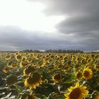 EPOCA DE GIRASOLES