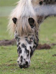 Equus caballus carnevale
