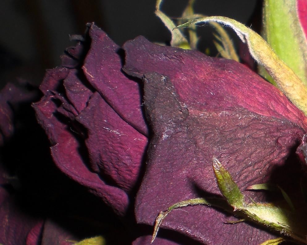 Er sagte mir, wenn diese Rose verwelkt kommt er wieder..
