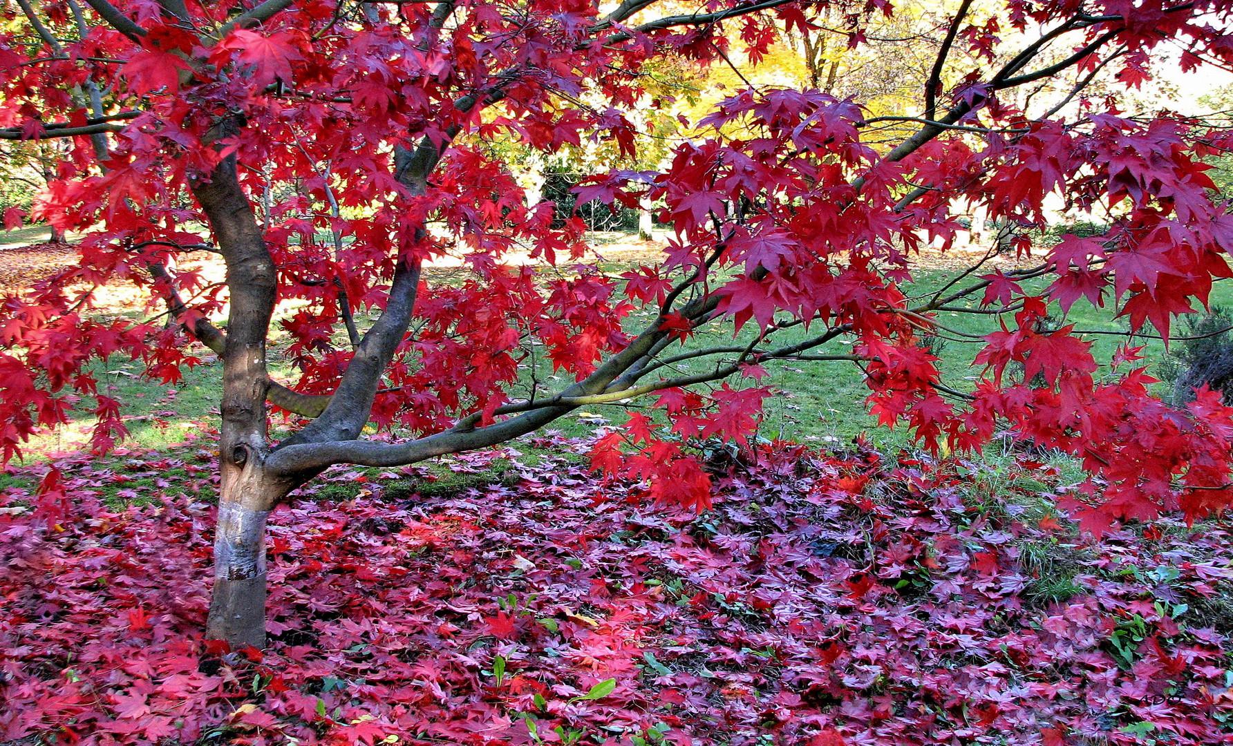 érable rouge japonais