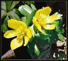 Eranthium hiemalis - Der Winterling (2)