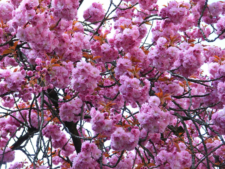 Erblühende Japanische Kirsche