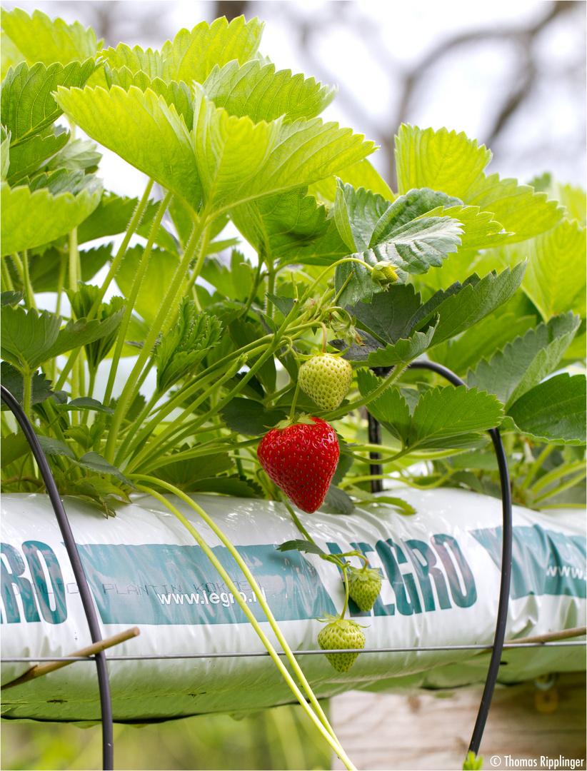 Erdbeere Im Hochbeet Foto Bild Pflanzen Pilze Flechten